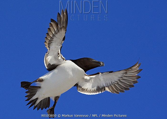 Razorbill (Alca torda) in flight, low angle, Norway  -  Markus Varesvuo/ npl