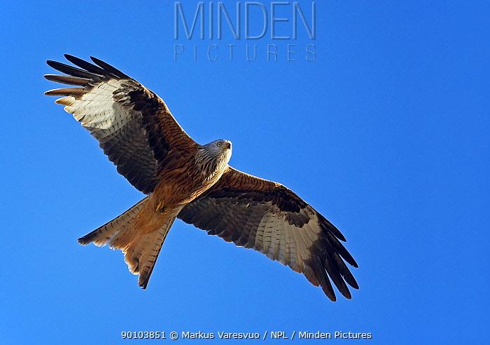 Red Kite (Milvus milvus) in Flight, Spain, Europe  -  Markus Varesvuo/ npl