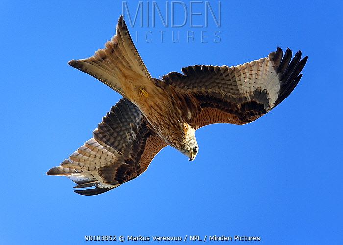Red Kite (Milvus milvus) in flight, Spain  -  Markus Varesvuo/ npl