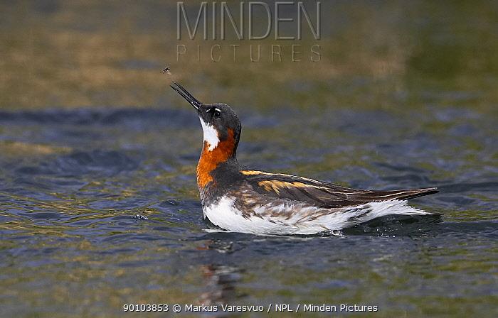 Red-necked Phalarope (Phalaropus lobatus) on water, Summer, Iceland  -  Markus Varesvuo/ npl