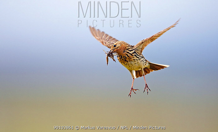 Red-throated Pipit (Anthus cervinus) carrying insect prey, in flight, Norway  -  Markus Varesvuo/ npl
