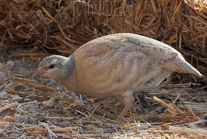 Sand Partridge (Ammoperdix heyi) female foraging, Israel May  -  Markus Varesvuo/ npl