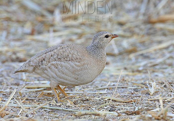 Sand Partridge (Ammoperdix heyi) female, Israel, March  -  Markus Varesvuo/ npl