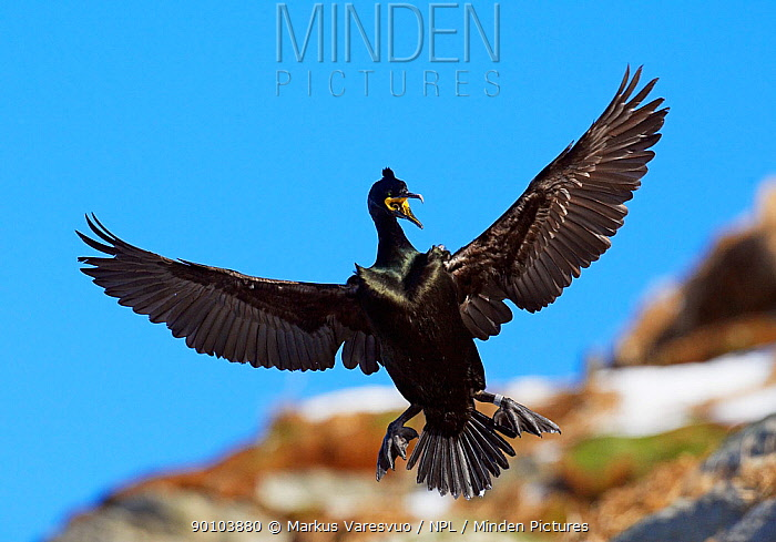 Shag (Phalacrocorax aristotelis) in flight, vocalising, Norway  -  Markus Varesvuo/ npl