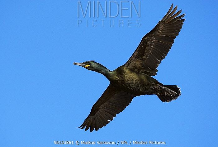 Shag (Phalacrocorax aristotelis) in flight, Norway  -  Markus Varesvuo/ npl