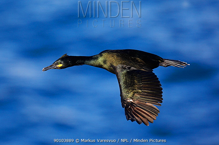 Shag (Phalacrocorax aristotelis) in flight, Norway July 2008  -  Markus Varesvuo/ npl