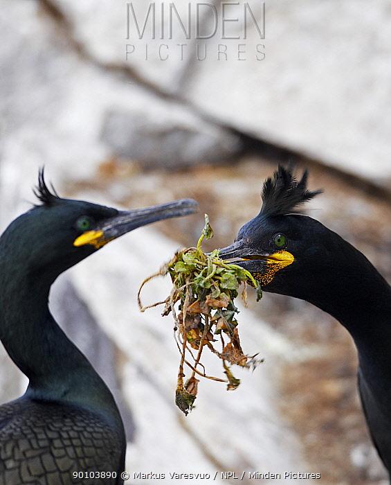 Shag (Phalacrocorax aristotelis) breeding pair with nesting material, Norway  -  Markus Varesvuo/ npl