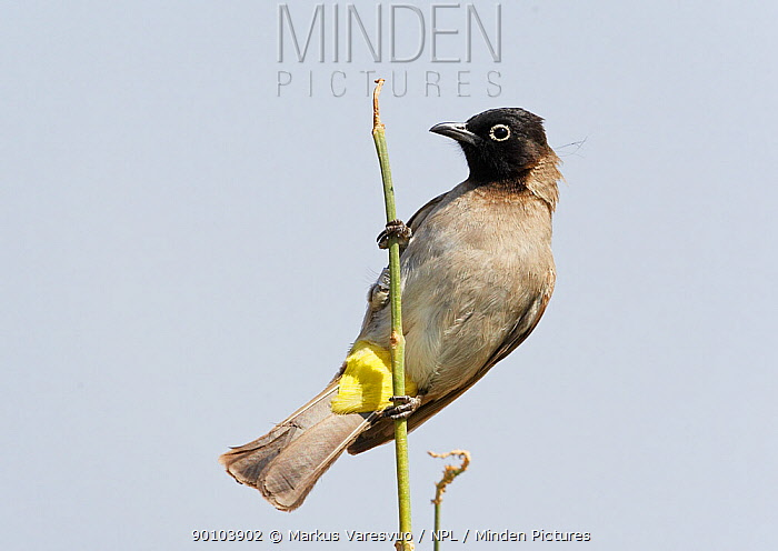 Spectacled Bulbul (Pycnonotus xanthopygos) perched, Israel  -  Markus Varesvuo/ npl