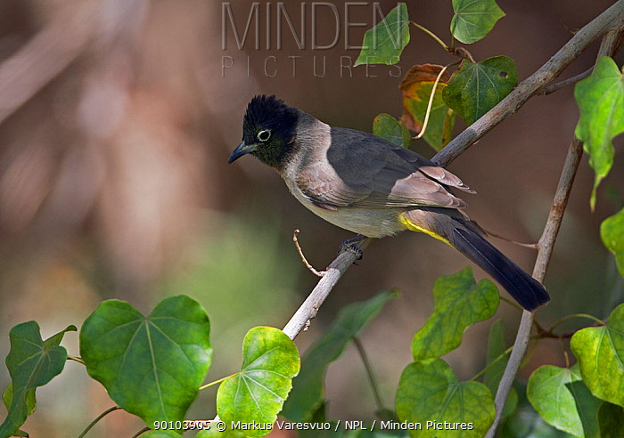 Spectacled Bulbul (Pycnonotus xanthopygos) perched in tree, Israel  -  Markus Varesvuo/ npl