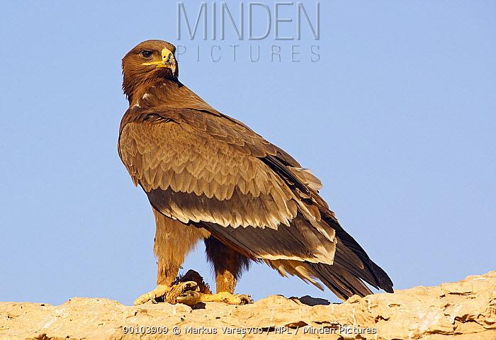 Steppe Eagle (Aquila nipalensis) with prey, Sultanate of Oman  -  Markus Varesvuo/ npl