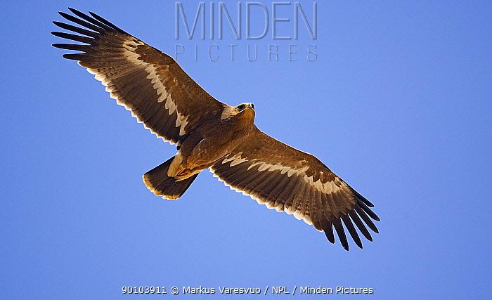 Steppe Eagle (Aquila nipalensis) in flight Sultanate of Oman  -  Markus Varesvuo/ npl