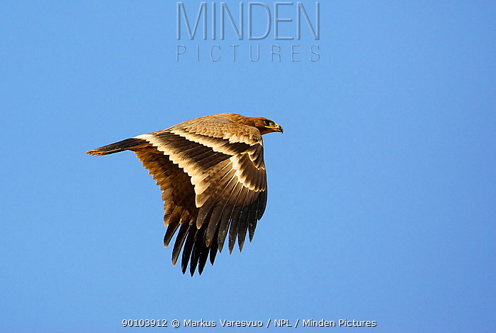 Steppe Eagle (Aquila nipalensis) in flight, Sultanate of Oman  -  Markus Varesvuo/ npl