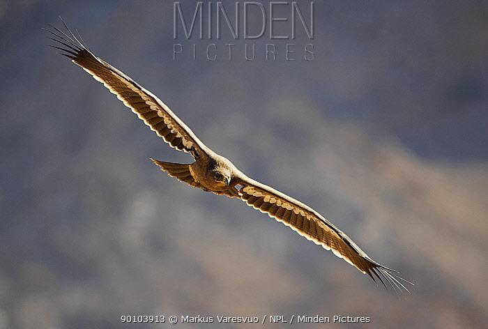 Steppe Eagle (Aquila nipalensis) in flight over desert, Sultanate of Oman  -  Markus Varesvuo/ npl