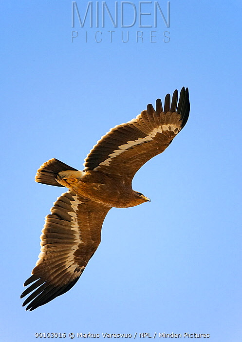 Steppe Eagle (Aquila nipalensis)in flight, Sultanate of Oman  -  Markus Varesvuo/ npl