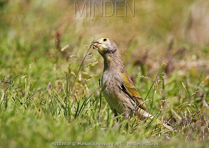 Syrian Serin (Serinus syriacus) foraging on grass seeds, Israel, March  -  Markus Varesvuo/ npl