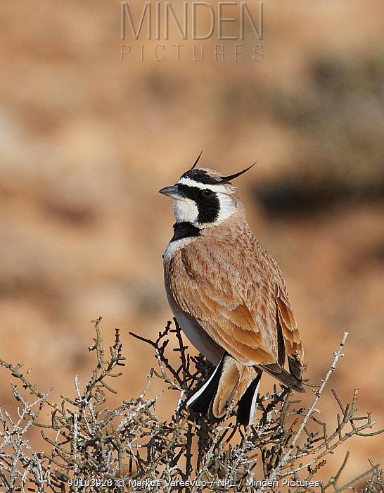 Temminck's Lark (Eremophila bilopha) Morocco  -  Markus Varesvuo/ npl