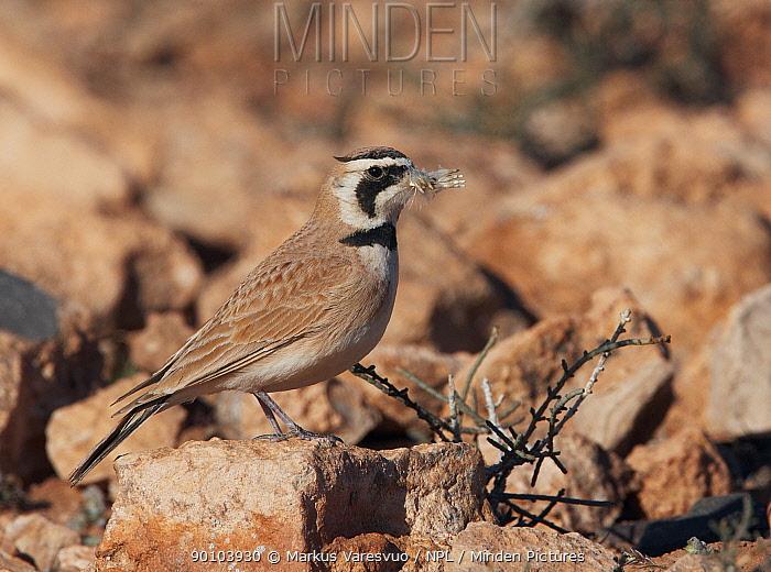 Temminck's Lark (Eremophila bilopha) nest building, Morocco  -  Markus Varesvuo/ npl