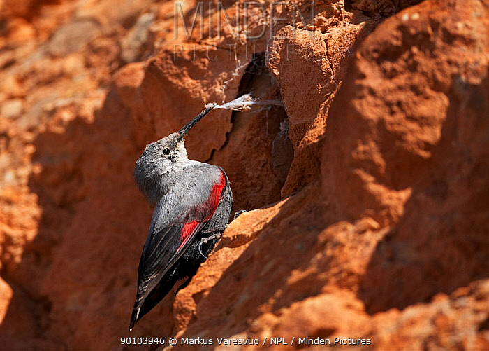 Wallcreeper (Tichodroma muraria) foraging, Spain  -  Markus Varesvuo/ npl