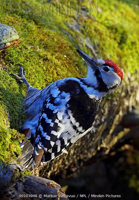 White-backed Woodpecker (Dendrocopos, Picoides leucotos) male on tree trunk, Kotka, Finland, January  -  Markus Varesvuo/ npl
