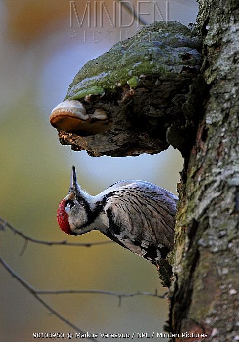 White-backed Woodpecker (Dendrocopos, Picoides leucotos) male on tree trunk beside bracket fungus, Kotka, Finland, January  -  Markus Varesvuo/ npl