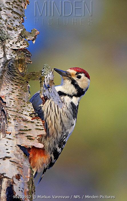 White-backed Woodpecker (Dendrocopos, Picoides leucotos) male on Birch tree trunk, Kotka, Finland, January  -  Markus Varesvuo/ npl