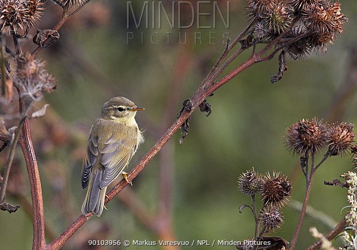 Willow Warbler (Phylloscopus trochilus) August, Helsinki, Finland  -  Markus Varesvuo/ npl