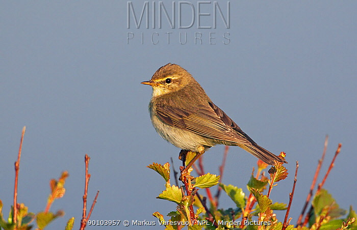 Willow Warbler (Phylloscopus trochilus) perched high in foliage, Summer, Norway  -  Markus Varesvuo/ npl