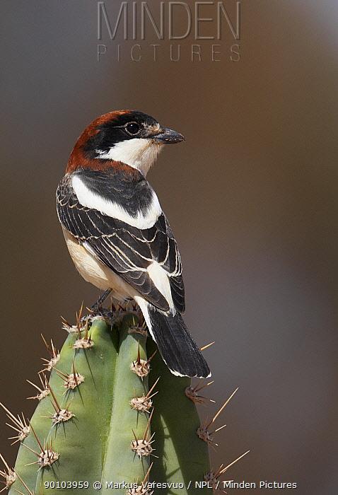 Woodchat Shrike (Lanius senator) male on cactus Israel  -  Markus Varesvuo/ npl
