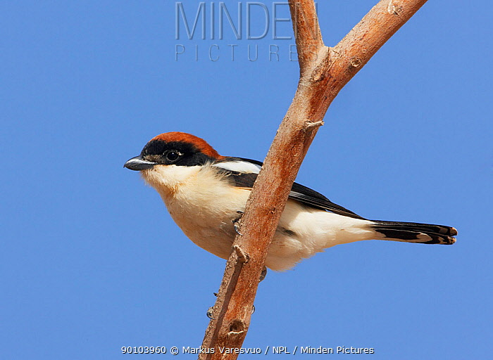 Woodchat Shrike (Lanius senator) male, March, Israel  -  Markus Varesvuo/ npl