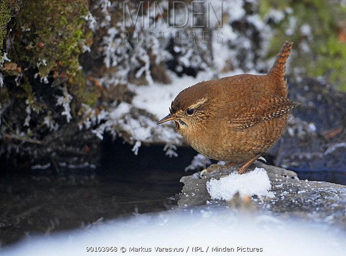 Wren (trogldytes troglodytes) foraging near water, in snow, Espoo, Finland  -  Markus Varesvuo/ npl
