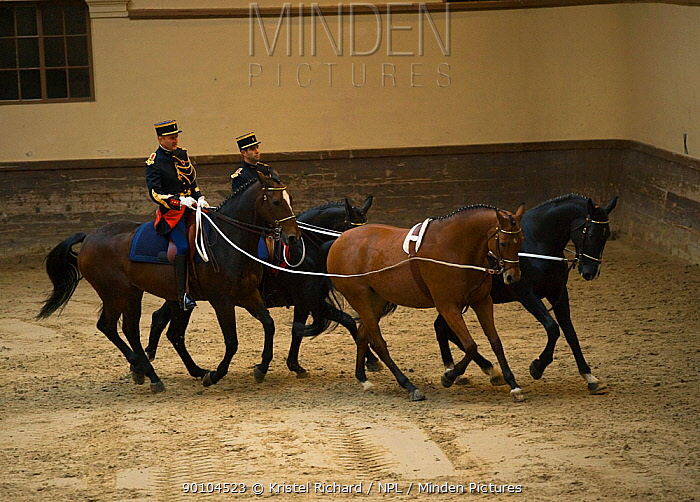 Mounted officers of the Garde R?publicaine (Republican Guard), part of the French Gendarmerie, performing The Tandems mounted on Selle Fran?ais horse at the Caserne des C?lestins, Paris, France October 2009  -  Kristel Richard/ npl