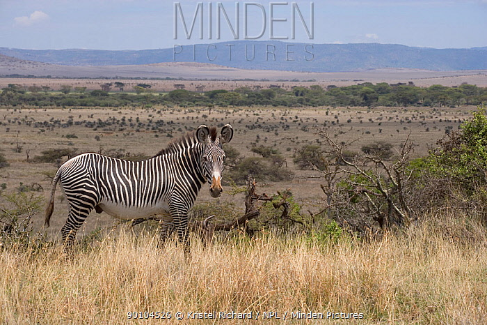 Grevy zebra (Equus grevyi) in landscape, Lewa Downs Reserve, Kenya  -  Kristel Richard/ npl