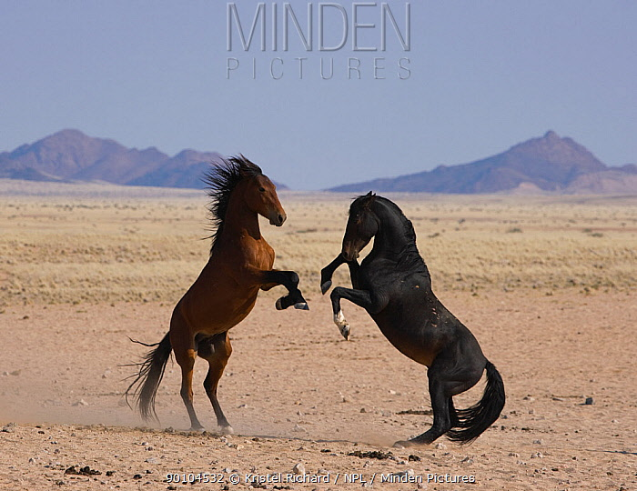 Two wild Namib stallions fighting, Namib Nakluft National Park, Namib Desert, Namibia, September 2008  -  Kristel Richard/ npl