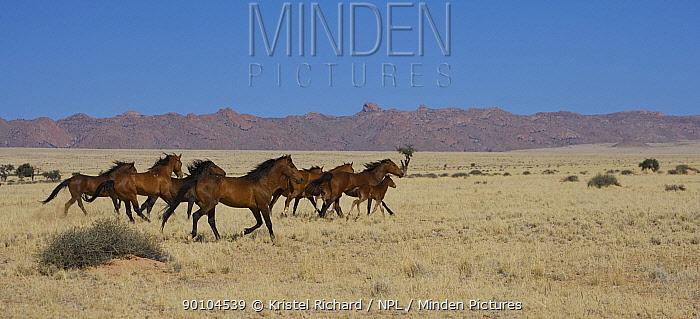A herd of wild Namib horses galloping away on the plains of the Namib Nakluft National Park, Namib Desert, Namibia, September 2008  -  Kristel Richard/ npl