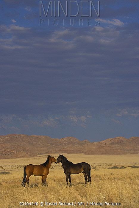 Two wild young Namib stallions sniff one another in the Namib Nakluft National Park, Namib Desert, Namibia, October 2009  -  Kristel Richard/ npl