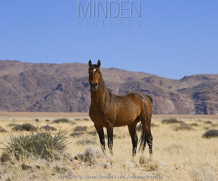 Wild Namib stallion standing proudly, Namib Nakluft National Park, Namib Desert, Namibia, October 2009  -  Kristel Richard/ npl