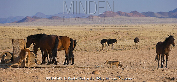 Black backed jackal (Canis mesomelas) and four Ostriches (Struthio camelus) come to drink at the man-made waterhole next to four wild Namib horses and a colt, Namib Nakluft National Park, Namib Desert, Namibia, October 2009  -  Kristel Richard/ npl