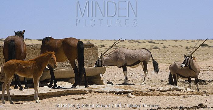 Two Oryx (Oryx gazella) come to drink at the man-made waterhole next to two wild Namib horses and a colt, Namib Nakluft National Park, Namib Desert, Namibia, October 2009  -  Kristel Richard/ npl