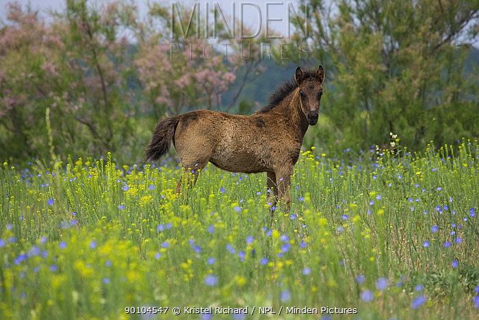 Feral foal standing in wildflower meadow, Letea Forest, Danube Delta Biosphere Reserve, Romania, June 2009  -  Kristel Richard/ npl