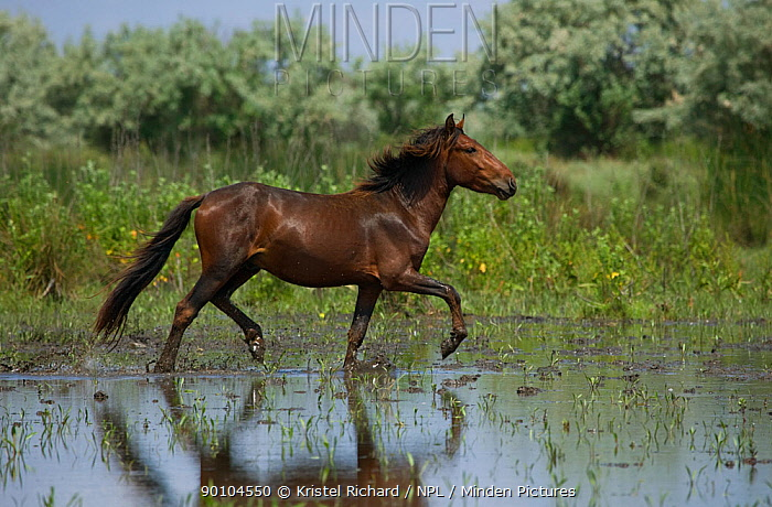 Young feral stallion trotting proudly in low water in the Letea Forest, Danube Delta Biosphere Reserve, Romania, June 2009  -  Kristel Richard/ npl