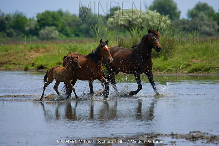 Feral breeding stallion with his mare and foal trotting through shallow water in the Letea Forest, Danube Delta Biosphere Reserve, Romania, June 2009  -  Kristel Richard/ npl