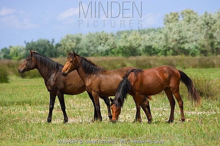Two feral horses standing and third feral horse grazing in the marshes, Letea Forest, Danube Delta Biosphere Reserve, Romania, June 2009  -  Kristel Richard/ npl