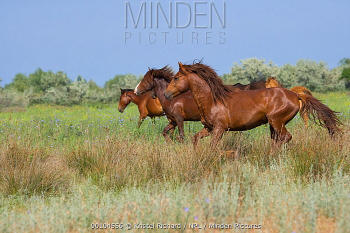 Feral breeding stallion keeping his band of mares and foals away from a group of feral bachelor stallions in the Letea Forest, Danube Delta Biosphere Reserve, Romania, June 2009  -  Kristel Richard/ npl