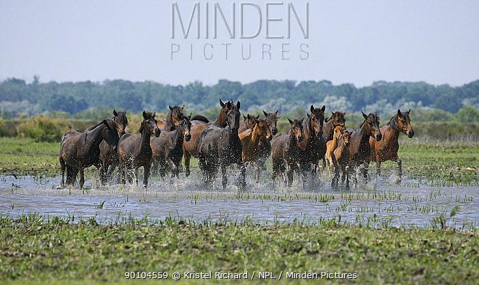 Herd of feral horses running across the marshes in the Letea Forest, Danube Delta Biosphere Reserve, Romania, June 2009  -  Kristel Richard/ npl