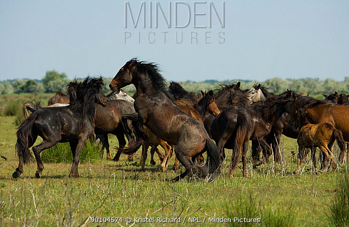 A feral breeding stallion fighting with an intruder to defend his band in the Letea Forest, Danube Delta Biosphere Reserve, Romania, June 2009  -  Kristel Richard/ npl