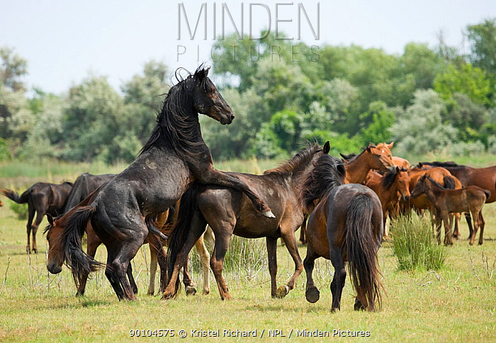 A feral breeding stallion stops covering his mare when a curious intruder gets too close to his band in the Letea Forest, Danube Delta Biosphere Reserve, Romania, June 2009  -  Kristel Richard/ npl