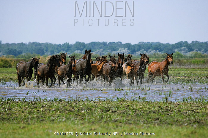 A herd of feral horses running through shallow water in the Letea Forest, Danube Delta Biosphere Reserve, Romania, June 2009  -  Kristel Richard/ npl