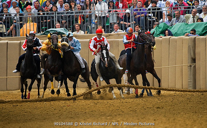 Six Fantini (jockeys), in the colours of a particular district of Asti, gallop off at the start of the Palio, on the third Sunday of September, in Asti, Piedmont, Italy The jockeys gallop at full speed to win that prestigious race, September 2009  -  Kristel Richard/ npl
