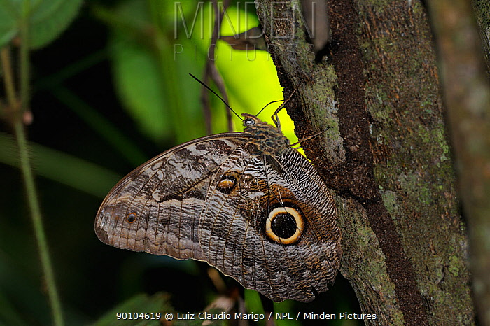 Illioneus giant owl butterfly (Caligo illioneus) feeding on gum from tree, Ariosto Island in Teles Pires River, Alta Floresta, Mato Grosso State, Brazil  -  Luiz Claudio Marigo/ npl