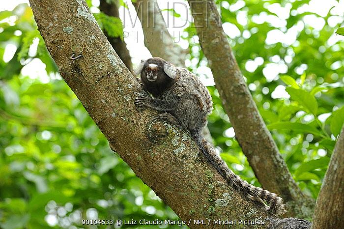 White-tufted-ear marmoset (Callithrix jacchus) on the Claudio Coutinho trail, at Praia Vermelha, Urca section of Rio de Janeiro city, Rio de Janeiro State, Brazil  -  Luiz Claudio Marigo/ npl